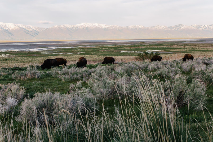 antelope state park utah bisons