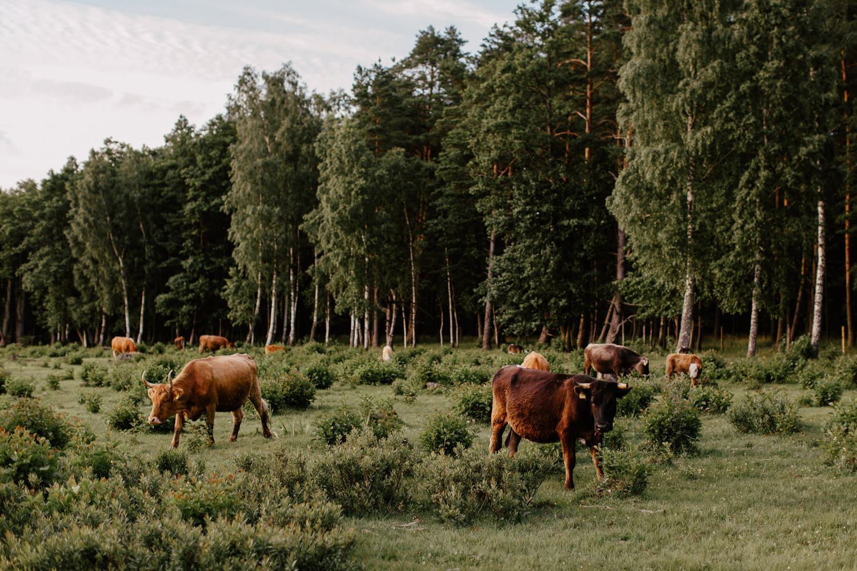 savvalas govis engures ezers